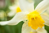 Daffodil-refraction_8523