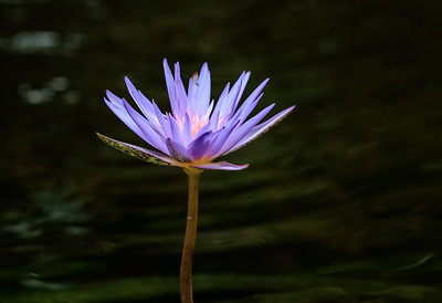Water Lily At Sunken Gardens
