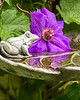 Froggy-Clematis-Reflection-print-5274