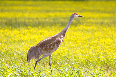 Sandhill Crane at Conboy