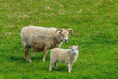 Sheep With Lamb In Iceland