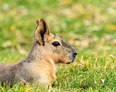 Patagonian Mara At Kentucky Down Under