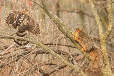 Cooper's Hawk And Eastern Fox Squirrel