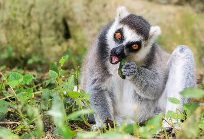Ring-Tailed Lemur At Kentucky Down Under