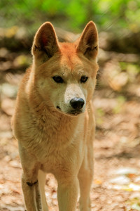 Dingo At Kentucky Down Under