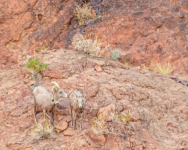 Bighorn Sheep Near Hoover Dam In Nevada