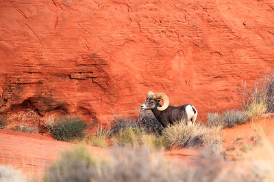 Bighorn Sheep In Valley Of Fire State Park In Nevada