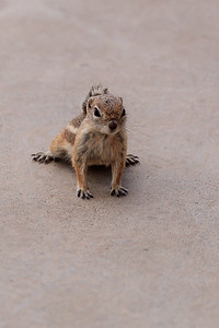 Harris's Antelope Squirrel In Southern Nevada