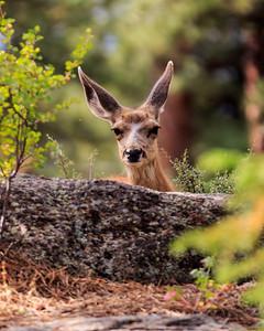 Mule Deer In Rocky Mountain National Park