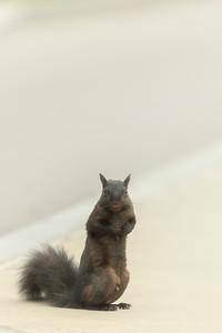 Black Squirrel In Niagara Falls State Park In New York