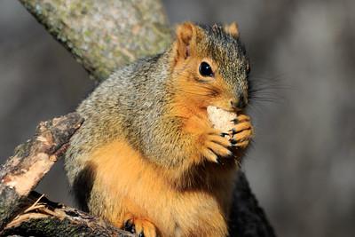 Eastern Fox Squirrel Eating Bread