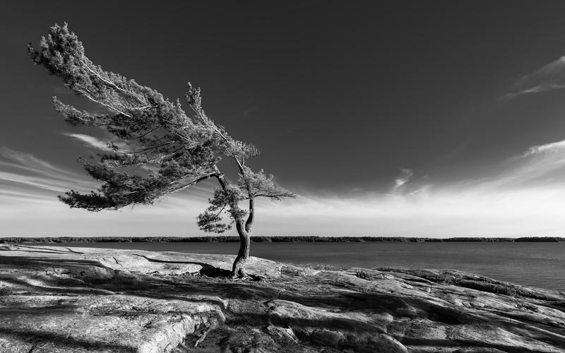 Windswept Pine
