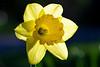Muskoka Daffodil