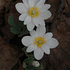 Bloodroot - 2 flower &  1 emerge