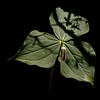 Red Wake Trillium - shadow