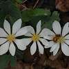 Bloodroot - 3 with bee
