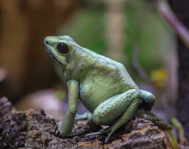 Golden Poison Frog (Mint Green Morph)
