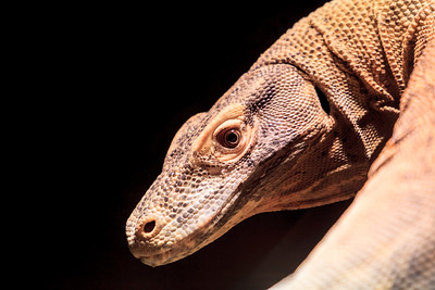 A Lizard At Zoo Atlanta