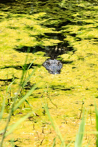 Florida Alligator Looking To Have The Photographer For Lunch