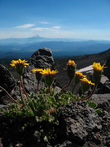 SunriseTrail_Wildflowers_MtHood_9783
