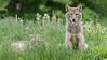 Coyote Pair