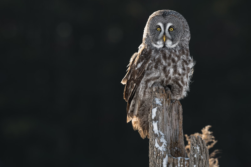 CRC - Great Grey Owl