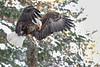CRC - Bald Eagle