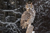 CRC - Great Horned Owl