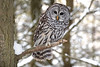 CRC - Barred Owl