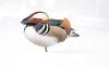Mandarin Duck, Newmarket