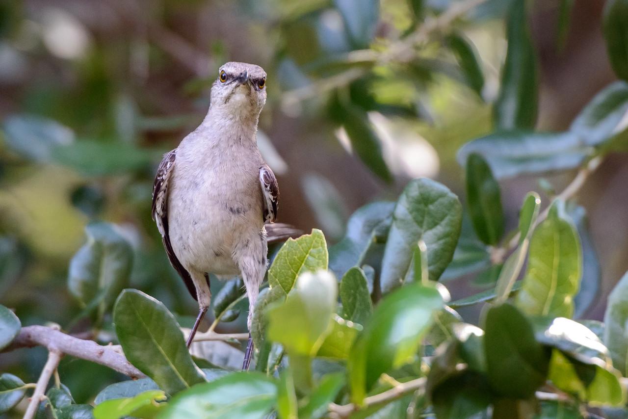 Mocking Birds