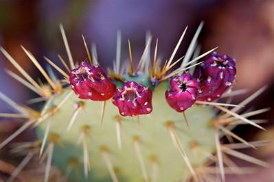cactus flower, Grace Kelley Gardens Monaco