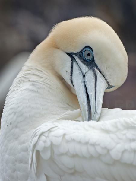 Gannet Grooming, Bass Rock