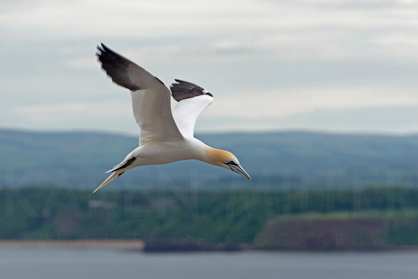 Gannet in Flight, Bass Rock