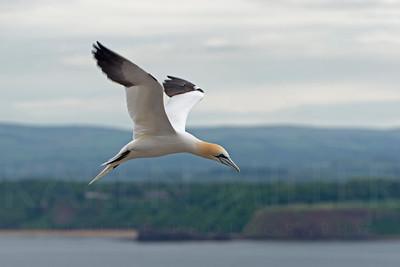 Gannet in Flight, Bass Rock