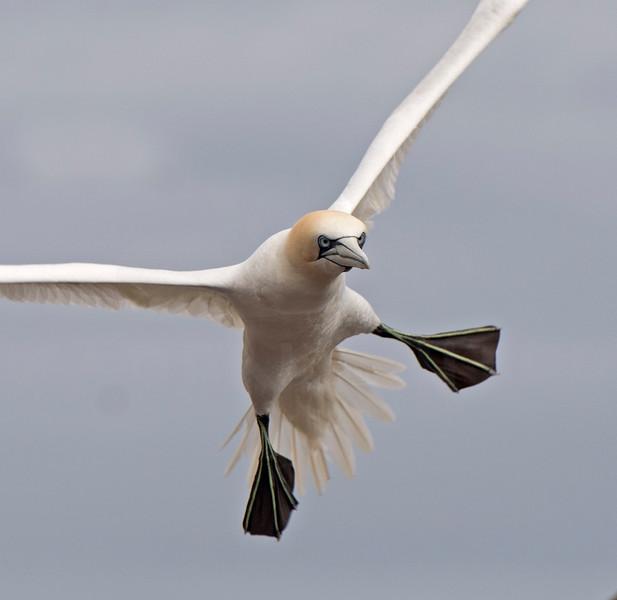 Gannet Landing, Bass Rock
