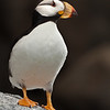 Fratercula corniculata - Horned Puffin, a nice little bugger :-)