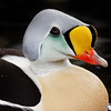 Somateria spectabili - King Eider (male), a sea duck...