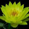 Lotus Drops