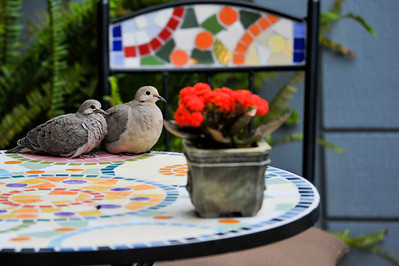 A pregnant dove(left) came out of her nest for a while when the male companion came to see her. Taken in my home front garden near they built the nest.
