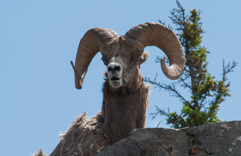 Big Horn Ram off the road