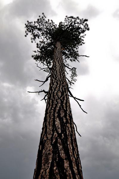 A lone pine tree, Panorama trail, Yosemite