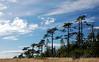 Windswept Treeline on San Juan Island