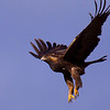 Golden Eagle taking off near Arroyo Seco, CA