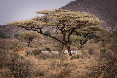Grevy's Zebra Samburu 2017