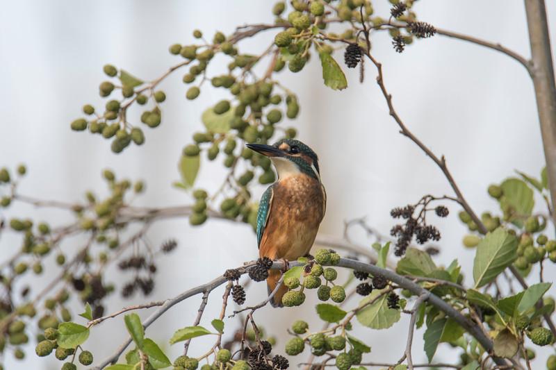 Juvenile kingfisher (Alcedo atthis)