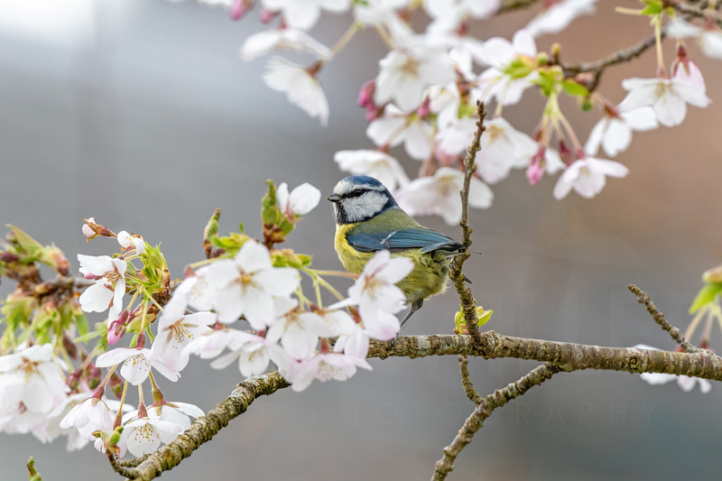 Blue Tit in Blossom