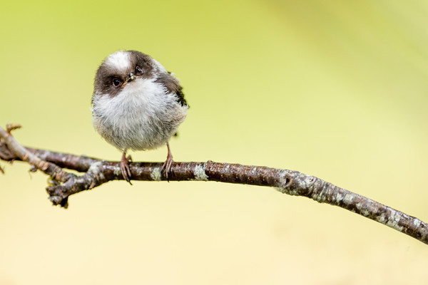 Long-Tailed Tit Fledgling