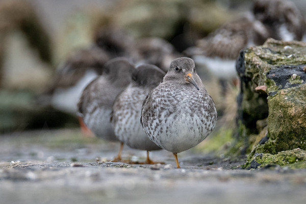 Trio of Purple Sandpipers