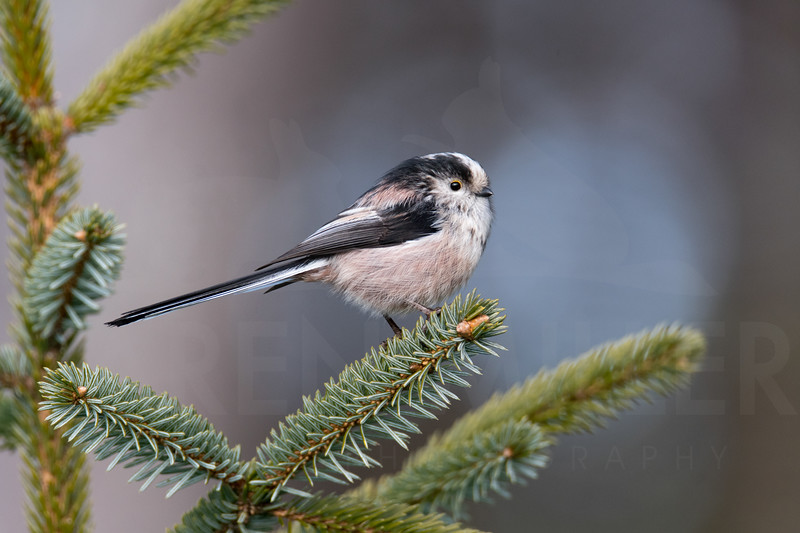 Long-tailed Tit (Aegithalos caudatus) perched on the branch of a pine tree